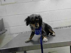●2•18•17 SL●HOUSTON - SUPER URGENT - This DOG - ID#A477450  I am a male, blue merle and tricolor Dachshund.  My age is unknown.  I have been at the shelter since Feb 10, 2017.  This information was refreshed 10 minutes ago and may not represent all of the animals at the Harris County Public Health and Environmental Services.