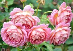 Hvem vil ikke gerne have en rose, der er fyldt som de historiske roser, men kommer igen som de moderne? Det er netop, hvad engelske roser gør. Her er to forholdsvist nye sorter, der er sundere og mere hårdføre end de første engelske roser og dermed mere velegnede til vores klima.