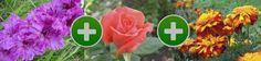 Гладиолус, роза и бархатцы