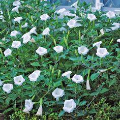 moonflower ipomea alba garden plants ideas nocturnal flowers #beautiful #Moonflower #flowers