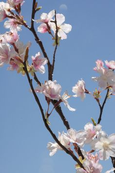 "Silk   Cherry Blossom 42""  Branches  (8 branches)    $7.59 each / 3 for $7 each"