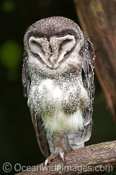 Lesser Sooty Owl Tyto multipunctata - Google Search ...