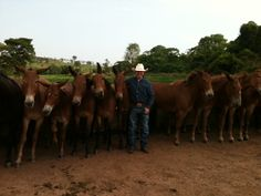 In Brazil, one whistle signals all these mules to line up nicely against the fence!