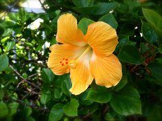 Hibiscus.   Amazing how geometric this is.