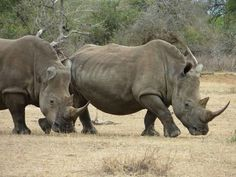 ** [FACTOID: A rhino's horn is made completely of keratin strands.It has no bone core.It's the only land animal like this.
