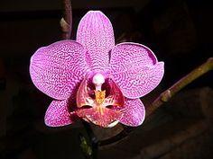Orchidée, Phalaenopsis, Fleur, Purple