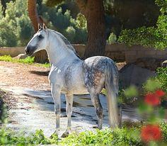 Pura Raza Española stallion, Avatar II. That's Baroque! photo: Alexia Khruscheva.