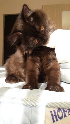 Dark brown cat #SansaLizitzki