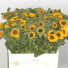 Buy Yellow SUNFLOWERS SONJA (MINI) at wholesale prices & direct UK delivery - wholesaled in Batches of 25 stems. No minimum order required - Floral accessories also available. Flowers Uk, Seasonal Flowers, Yellow Flowers, Small Sunflower, Yellow Sunflower, Fall Wedding Bouquets, Wedding Flowers, Autumn Wedding, Types Of Sunflowers
