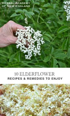 Herbal Remedies 10 Elderflower Recipes and Remedies to Enjoy - Here is an assortment of elderflower recipes and remedies to try yourself. Like me, I hope you find the flower an alluring early-summer resource! Healing Herbs, Medicinal Plants, Natural Healing, Natural Oil, Natural Beauty, Holistic Healing, Edible Plants, Edible Flowers, Natural Home Remedies