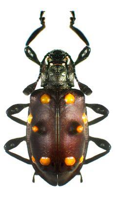 Spathomeles moloch