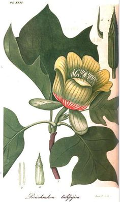 tulip poplar, illustration