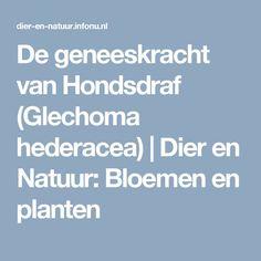 De geneeskracht van Hondsdraf (Glechoma hederacea) | Dier en Natuur: Bloemen en planten