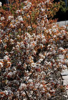 Amelanchier leavis Foto: Inger Palmstierna   Kopparhäggmispel, fk Bäcklösa E  Elegant och mycket uppskattad är kopparhäggmispel, Amelanchier laevis, som har mörkt kopparfärgade blad vid utspring vilket tillsammans med de vita blommorna på avstånd ger en effekt av rosa skyar. Den växer som en vid buske, kan också användas som litet flerstammig buskträd, höjd upp till 4 meter. Väljer man E-material är plantan rotäkta och lättskött. Minst härdig av dem med zon 4-5 som nordlig gräns
