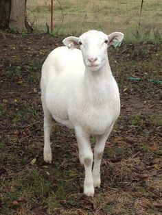 We have Katahdin hair sheep. 4 or our females look just like this picture. Lisa, Dottie, MoneyPenny, and Merrabella.