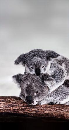 Koala cansada