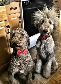 Goldendoodle Grooming, Poodle Grooming, Dog Grooming Tools, Dog Grooming Business, I Love Dogs, Cute Dogs, Irish Wolfhound Puppies, Dog Station, Poodle Haircut