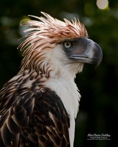 In celebration of the Asian Bird Fair and the Philippine Bird Festival in Waterfront Insular Hotel in Davao City on September let me share portrait shots of event& icon bird. Harpy Eagle, Bald Eagle, Rare Birds, Exotic Birds, Philippine Eagle, Eagle Painting, Eagle Art, Farm Photography, Portrait Shots
