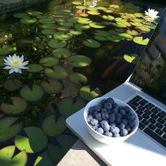 """""""It's a blueberry morning at the edge of my pond, watching the fish and lilies while working #bliss #pond #blueberry #nom #garden #outside #working #laptop…"""""""