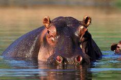 Hippopotamus {Hippopotamus amphibius} Serengeti National Park, Baby Hippo, Three Little Pigs, Life Quotes To Live By, Baboon, Hippopotamus, Mammals, Most Beautiful Pictures, National Parks