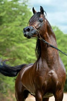 Beautiful Arabian stallion ! by terrie