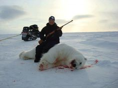 """The US Fish and Wildlife Service (USFWS) has said that sea-ice melting will lead to two-thirds of the world's polar bears dying out by 2050. Polar bears were the first vertebrate species to be listed by the US Endangered Species Act as threatened by extinction primarily because of global warming. At $40,000 a kill, polar bear hunting is big business and heavily promoted. The Safari Club gives out a """"Grand Slam"""" award to anyone who kills at least five great-bear species, including the polar…"""