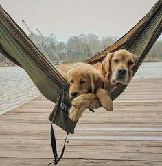 Golden Retrievers chilling