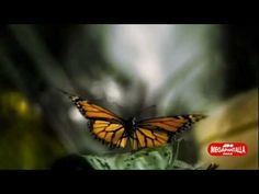 Monarch butterflies in Michoacan | Visit Mexico  Tourists: one of the biggest threats is all the trash tourists leave behind. Please be responsible! Respect places you visit tourism has a huge impact on places...we need to keep them as is.