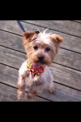 Daisy & Duke is an adoptable Yorkshire Terrier Yorkie Dog in Taunton, MA. This is Daisy & Duke to pure bred Yorkies looking for a new home. Daisy is a spayed 7 yo female who weighs about 8lbs. Duke is...