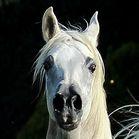 DIALECTA DE LAFON (Shanghai EA x Diacira of Lafon) 2012 grey mare bred by Mas de Lafon, France