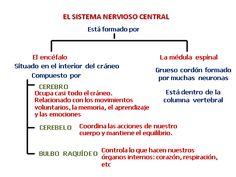 esquema sistema nervioso central - Buscar con Google