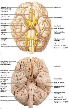labelled diagram of human brain college database template the sagittal view anatomy regions and nerve info graphic mseducation msawareness multiplesclerosis