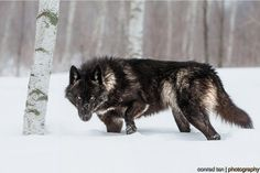 White Wolf : Perfect Timing Photos: A Close Encounter With A Minnesota Black…