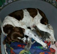 Dus met spoed op zoek naar surrogaat moeder. Die is gevonden en zowel de pups als (surrogaat) moeder maken het goed!