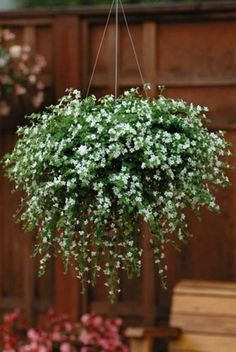 Bacopa & is a pretty trailing Half-Hardy Annual. It is ideal as a filler for hanging baskets and containers, and flowers for many months. Hanging Plants Outdoor, Plants For Hanging Baskets, Artificial Hanging Baskets, Diy Garden, Garden Pots, Fruit Garden, Container Plants, Container Gardening, Vegetable Gardening