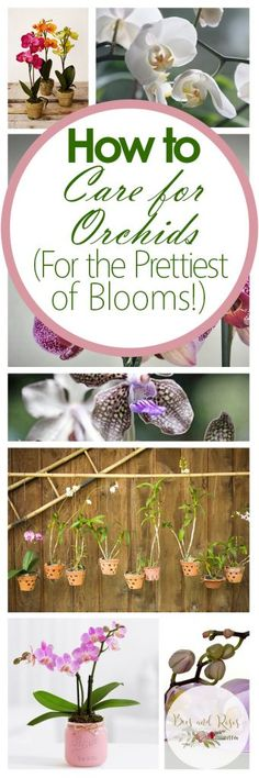 How to Care for Orchids (For the Prettiest of Blooms!)   How to Care for Orchids, Caring for Orchids, Orchid Care Tips, How to Care for Orchid Flowers, Indoor Gardening, Indoor Gardening Tips and Tricks, Caring for Orchid Flowers, Popular Pin