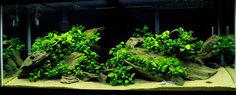 Africans and Anubias