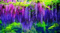 Kwiaty, Glicynia