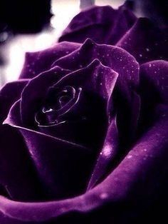 Rare Flowers, Flowers Nature, Exotic Flowers, Pretty Flowers, White Roses, Purple Flowers, Pink Roses, Purple Color Palettes, Violet Background