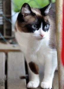 Snowshoe siamese - oh, I really want one!