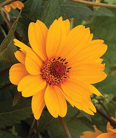 Heliopsis helianthoides, Sweet Sunshine,blooms early and long Landscaping Plants, Drought Resistant Plants, Best Perennials, Plants, Drought Tolerant Perennials, Shrubs, Making Plant Pots, Flowers Perennials, Flower Garden