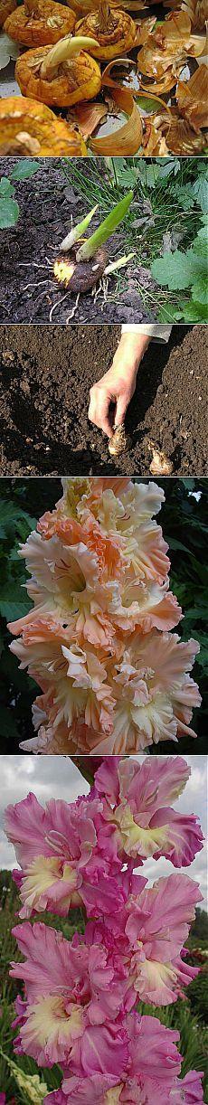 Как правильно посадить гладиолусы.
