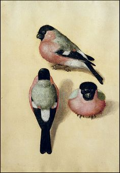 Albrecht Dürer 'Three Studies of a Tree Bullfinch' 1543 watercolor by Plum leaves, via Flickr