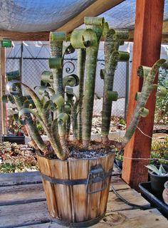 Succulent Plant Information: Billbergia marmorata