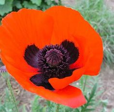Learn More About Papaver U0027Brilliantu0027 (Poppy)! Read Up On This Plant Or Stop  Into Sunnyside Gardens In Minneapolis To Talk To Our Experts!