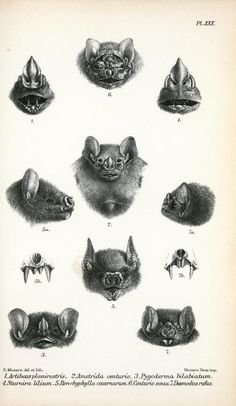 Antique Scientific Illustration Bat Heads