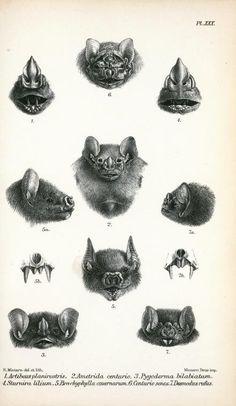 Antique Scientific Illustration Bat Heads