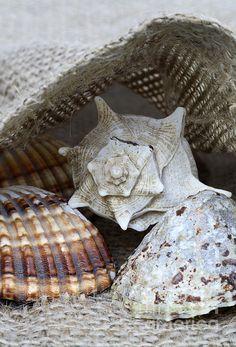 Sea shells art print http://fineartamerica.com/featured/1-seashells-frank-tschakert.html