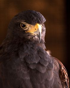Harris Hawk. Photo amckelvie