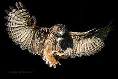 BuboBubo - European eagle-owl (Bubo bubo) in flight